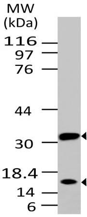 Fig-1: Western blot analysis of Caspase-3. Anti- Caspase-3 (Clone: ABM1C12) was used at 2 µg/ml on Ramos lysate.