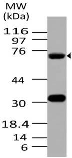 Fig-1: Expression analysis of ATF6. Anti- ATF6 antibody (Clone ABM1A40) was used at 2 µg/ml on K562 lysate.