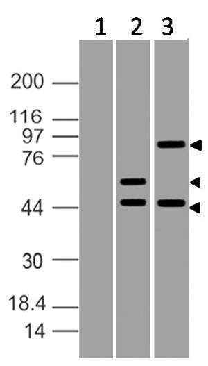 Fig-3: Expression analysis of ATF6. Anti- ATF6 antibody (Clone ABM1A40) was used at 2 µg/ml on (1) Blank plasmid transfected HEK293 cells, (2) Partial length ATF6 plasmid transfected HEK293 cells and (3) Fulll length ATF6 plasmid transfected HEK293 cells.