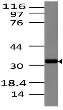 Fig-1: Western blot analysis of Dectin 2 Anti- Dectin 2 antibody (Clone: ABM2H28) was used at 2 µg/ml on Raw lysate.