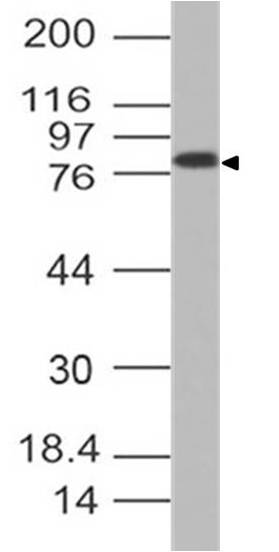 Figure-2: Western blot analysis of CADM1. Anti- CADM1 antibody (Clone: ABM2A73) was tested at 2 µg/ml 293 lysate.