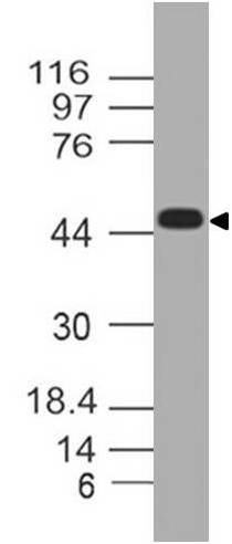 Figure-1: Western blot analysis of TREX1. Anti TREX1  (Clone: ABM2A85) was used at 4 µg/ml in Daudi lysate.