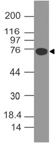 Fig-3: Western blot analysis of B7-H4. Anti-B7-H4 antibody (Clone: ABM53A6) was used at 4 µg/ml on human B7H4-FC fusion protein Lysate.