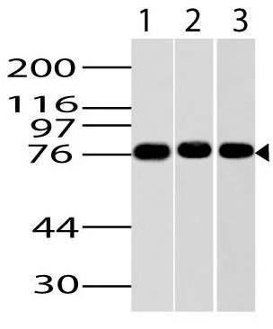 Fig-1: Western blot analysis of IKKe. Anti-Ikke antibody (Clone: ABM13C7) was tested at 2 µg/ml on Jurkat, NIH 3T3 and HepG2 lysates.