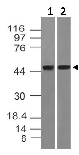 Fig-1: Western blot analysis of DNMT2. Anti-DNMT2 antibody (Clone: ABM1H70) was used at 4 µg/ml on Jurkat and mouse embryonic liver lysates.