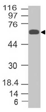 Fig-1: Western blot analysis of Trim29. Anti- Trim29 antibody (Clone: ABM43D2) was tested at 1 µg/ml Hela lysate.