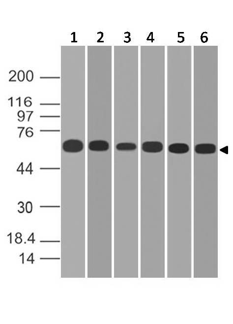 Figure-4: Western blot analysis of PD-L1. Anti-PD-L1 antibody (Clone: ABM4E54) was tested at 2 µg/ml on (1) A549, (2) MCF-7, (3) 293, (4) HCT-116, (5) Saos2 and (6) Hela lysates.