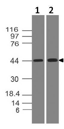 Fig-4: Western blot analysis of PDL1. Anti-PD-L1 antibody (Clone: ABM5F25) was tested at 2 µg/ml on (1) Daudi and (2) HepG2 lysates.