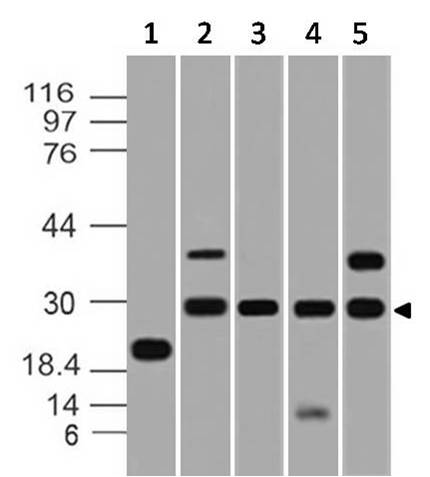Figure-2: Western blot analysis of PDL2. Anti-PDL2 antibody (Clone: ABM3D6.1G2) was tested at  0.01 µg/ml on (1) Recombinant protein and 4 µg/ml on (2) U87, (3) Raji, (4) THP1 and (5) RAW Lysates.