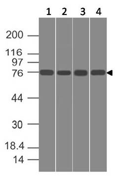Figure-2: Western blot analysis of SPARCL1. Anti-SPARCL1 antibody (Clone: ABM5C3.2G1) was used at 1 µg/ml on (1) h Lung, (2) h Intestine, (3) PANC-28 and (4) U87 lysates.