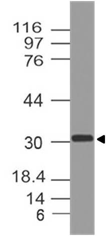 Figure-1: Western blot analysis of Myogenin. Anti-Myogenin antibody (Clone: ABM30A5) was used at 2 µg/ml on hHeart lysate.