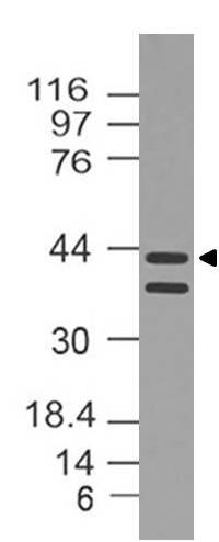 Fig-1: Western blot analysis of Dnmt3L. Anti-Dnmt3L antibody (11-7014) was used at 2 µg/ml on  Mouse embryo Brain lysate.