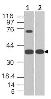 Figure-1: Western blot analysis of GPR18. Anti-GPR18 antibody (11-8041) was used at 2 µg/ml on (1) Ramos and (2) h Testis lysates.