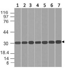 Polyclonal Antibody to HES2