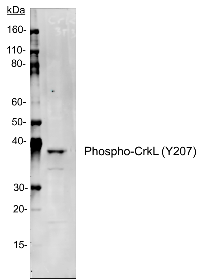 Fig-4: Western blot analysis of NIH3T3 cell extract using 1µg/mL Phospho-CrkL (Tyr207) antibody CrkLY207-G4.