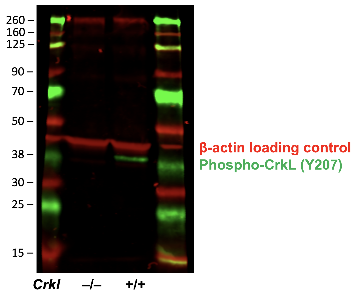Fig-5: Western blot of E10.5 mouse wild-type (+/+) or Crkl knock out (-/-) whole embryos. The red channel was stained using a B-actin loading control and the green channel was stained using 1:500 dilution of Phospho-CrkL (Tyr207) antibody CrkLY207-G4. Phospho CrkL antibody staining is absent in the knock out lysate.