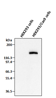 Cas9 Stable Cell Line