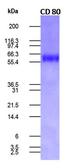 Figure-1: Human CD80/hFc recombinant protein. 0.5 ug protein was run on a 4-20% SDS-PAGE gel followed by Coomassie blue staining.