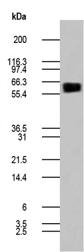 Figure-2: Western blot analysis of CD80/hFc recombinant protein (0.5ug) using anti-human CD80 antibody (Cat. No. 10-4108).