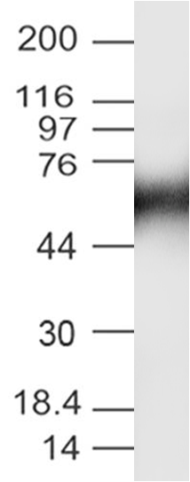 Figure 3: Western Blot analysis of S1-RBD antibody: Anti-S1-RBD antibody (SARS-CoV-2) was used at 2 µg/ml on recombinant Spike RBD Protein Fc  Protein (21-1005).