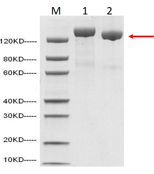 SARS-CoV-2 Spike protein (ECD, His and Flag Tag) C-Terminus
