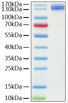 Fig 1 : Recombinant Human ACE2 Protein with hFc tag was determined by SDS-PAGE with Coomassie Blue, showing a band at 140-150 kDa.