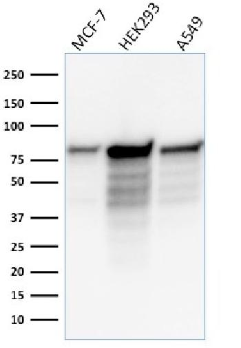 Fig. 4: Western Blot Analysis of MCF-7, HEK-293, A549 lysate using MCM7 Mouse Monoclonal Antibody (MCM7/1466).