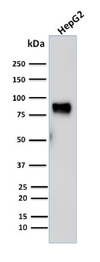 Fig. 1: Western Blot Analysis of human HepG2 cell lysate using MDM2 Mouse Monoclonal Antibody (SMP14).