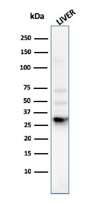 Fig. 6: Western Blot Analysis of human liver tissue lysate using Prohibitin Mouse Monoclonal Antibody (PHB/3225).