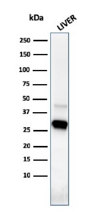 Fig. 5: Western Blot Analysis of human liver tissue lysate using Prohibitin Mouse Monoclonal Antibody (PHB/3226).