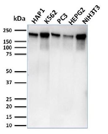 Fig. 3: Western Blot Analysis of Human HAP1, K562, PC3, HePG2 & NIH3T3 cell lysates using RNA Poll II Mouse Monoclonal Antibody (CTD4H8).