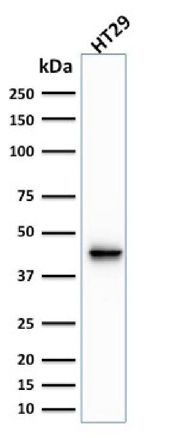 Fig. 3: Western Blot Analysis of human HT29 cell lysate using Cytokeratin 20 (KRT20) Mouse Monoclonal Antibody (KRT20/1991).