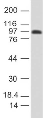 Figure-4: Western blot analysis of Anti-CD43 antibody in human spleen tissue using 1 µg/ml of Anti-CD43 (DF-T1).
