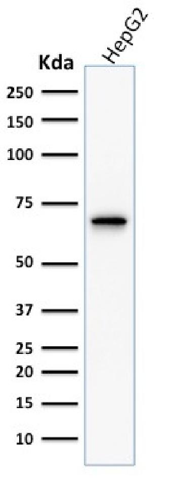 Fig. 2: Western Blot Analysis of human HepG2 cell lysate using COX-2 Mouse Monoclonal Antibody (COX2/1941).
