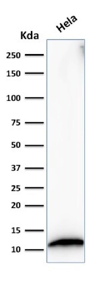 Fig. 4: Western Blot Analysis of HeLa cell lysate using S100A4 Mouse Monoclonal Antibody (S100A4/1482).