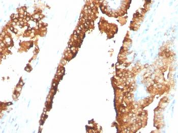 Fig. 2: Formalin-fixed, paraffin-embedded normal human spleen tissue stained with CDw75 Mouse Monoclonal Antibody (ZB55).