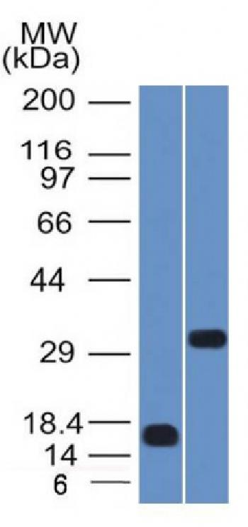 Anti-SOX2 (Embryonic Stem Cell Marker) Monoclonal Antibody(Clone: SOX2/1792)