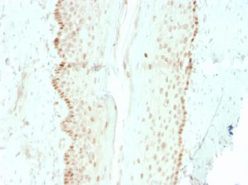 Anti-SOX2 (Embryonic Stem Cell Marker) Monoclonal Antibody(Clone: rSOX2/1792)