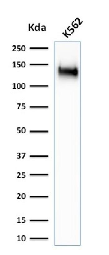 Fig. 4: Western Blot Analysis of K562 cell lysate using CD43 Rabbit Recombinant Monoclonal Antibody (SPN/1766R).