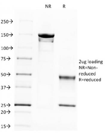 Fig. 4: SDS-PAGE Analysis Purified Spectrin beta III Monoclonal Antibody (SPTBN2/1583) labeled with CF488 (Green). Confirmation of Integrity and Purity of Antibody.