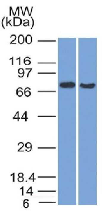 Fig. 1: Western Blot (1) HeLa and (2) HepG2 cell lysate using TCF4 Mouse Monoclonal Antibody (TCF4/1705).