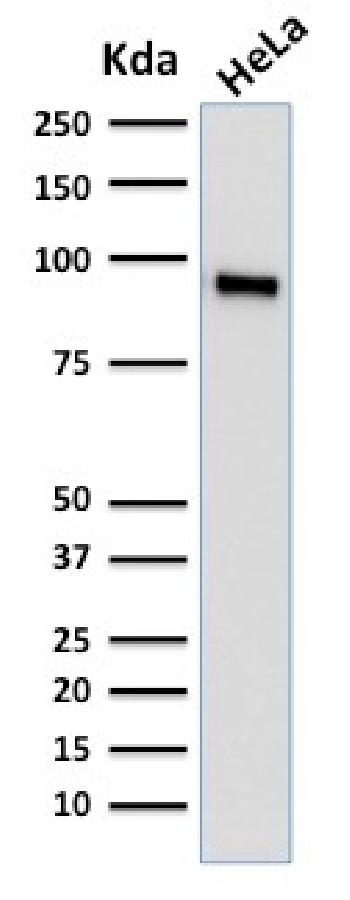 Fig. 3: Western Blot Analysis of human HeLa cell lysate using TLE1 Mouse Monoclonal Antibody (TLE1/2062).