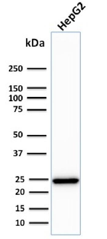 Fig. 2: Western Blot Analysis of human HepG2 cell lysate using C1QA Mouse Monoclonal Antibody (C1QA/2783).