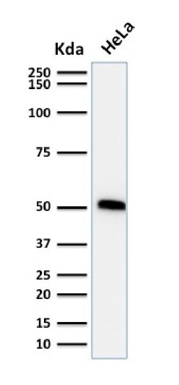 Fig. 2: Western Blot Analysis of human HeLa cell lysate using p53 Mouse Monoclonal Antibody (TP53/1739).