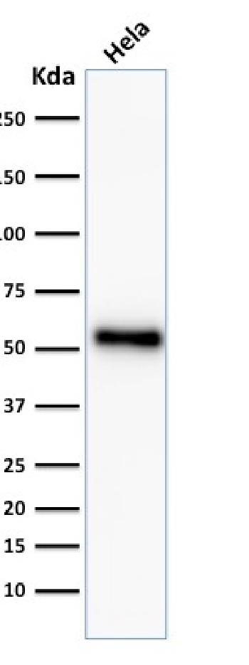 Fig. 2: Western Blot Analysis of HeLa cell lysate using p53 Recombinant Rabbit Monoclonal Antibody (TP53/2092R).