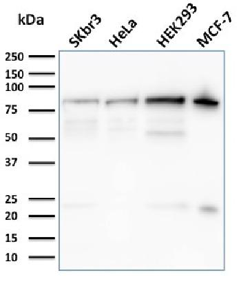 Fig. 4: Western Blot Analysis of SKBr-3, HeLa, HEK293, MCF-7 cell lysates using Ezrin Mouse Monoclonal Antibody (CPTC-Ezrin-1).