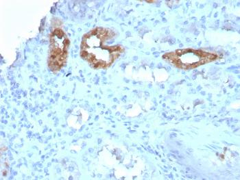 Fig. 2: Formalin-fixed, paraffin-embedded human Kidney stained with Calbindin 1 Mouse Monoclonal Antibody (CALB1/3333).