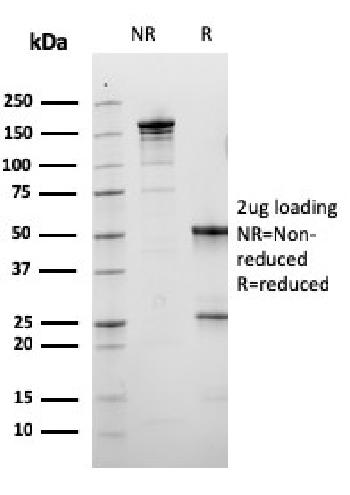 Fig. 3: SDS-PAGE Analysis Purified Calbindin 1 Mouse Monoclonal Antibody (CALB1/3333). Confirmation of Purity and Integrity of Antibody.