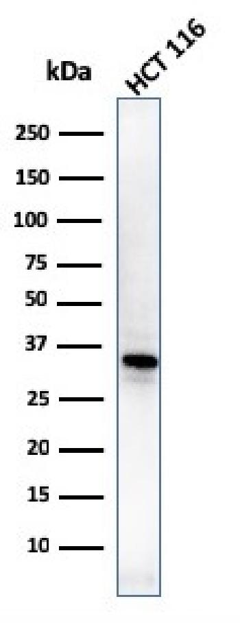 Fig. 5: Western Blot of HCT116 cell lysates using B7-H4 Mouse Monoclonal Antibody (B7H4/1788).