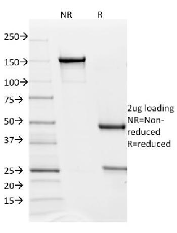 Fig. 1: SDS-PAGE Analysis Purified PD-L2 Mouse Monoclonal Antibody (Z64P2D3*H4). Confirmation of Purity and Integrity of Antibody.